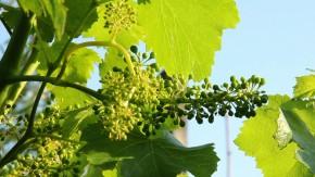 La produzione vinicola